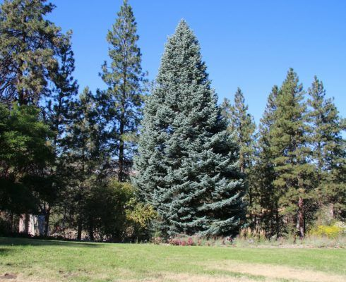 how to stop a blue spruce fromgrowing taller