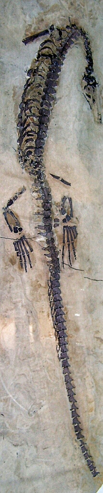 Brazilosaurusis anextinctgenusofmesosaurwhich lived during the earlyPermian(Artinskianstage) of what is nowBrazil. It is known from askeletonrecovered from the Assistencia Member of theIrati Formation(Hanayama Farm,Tatuí,São Paulo). It was named by T. Shikama and H. Ozaki in1966and thetype speciesisBrazilosaurus sanpauloensis