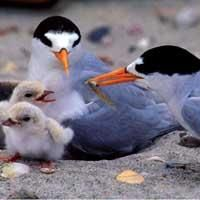 The New Zealand Fairy Tern only 43 birds left!!!