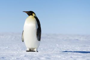 All About Emperor Penguin Facts for Kids Penguins 101 #penguin