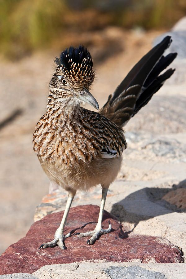 Greater Roadrunner Furnace Creek Ranch Death Valley National Park California - James Marvin Phelps. ( beep beep)
