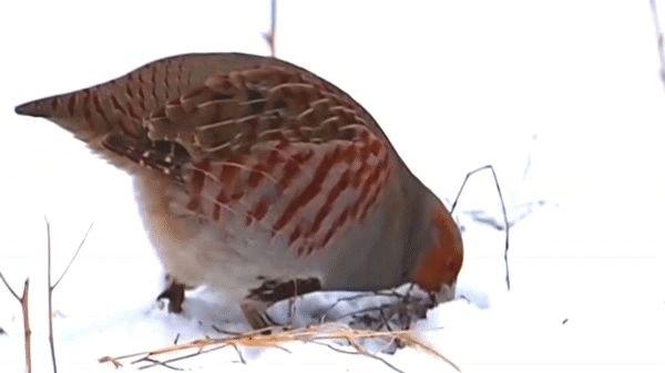 POTARNICHEA - Perdix perdix - numita si Potârnichea Cenușie este o pasăre sedentară din familia fazianidelor. Are o talie de 30 cm, de c...