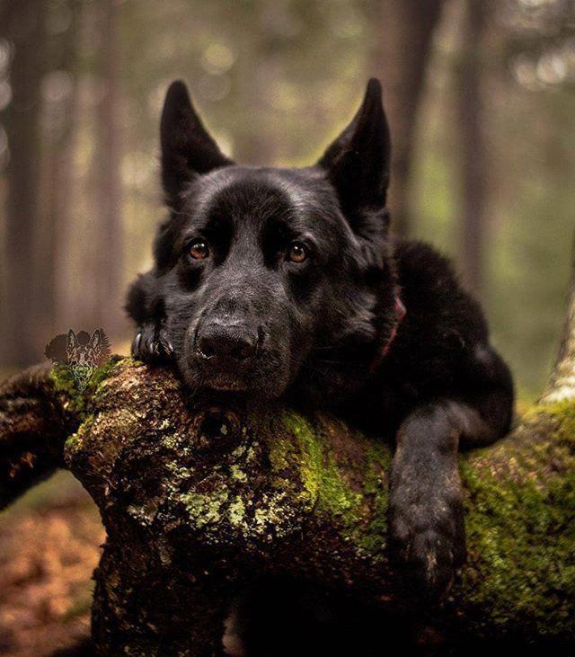 Beautiful Theneighbourhoodwolf Germanshepherd Germanshepherds Germanshepherdmemes Germansheph German Shepherd Dogs Shepherd Dog Black German Shepherd Dog