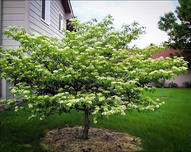 Pagoda Dogwood *to be added in 2016*
