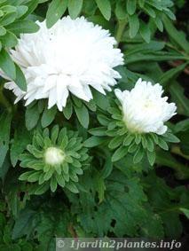 reine marguerite double blanche