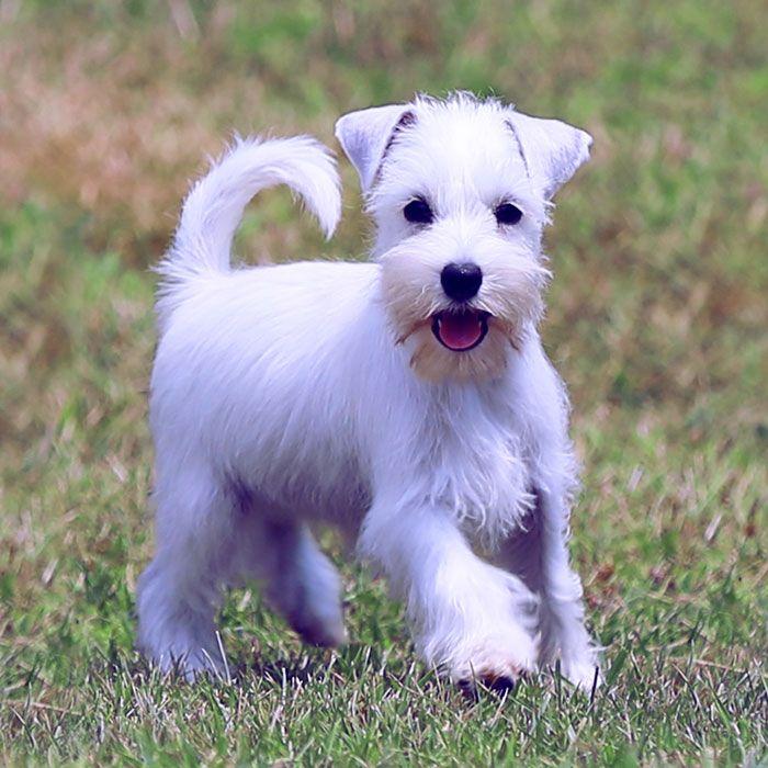 Comprar cachorro Schnauzer