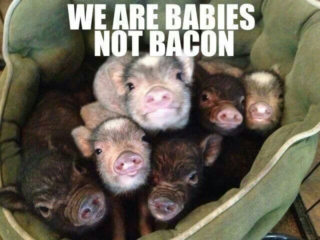 bacon lover meet baby pig