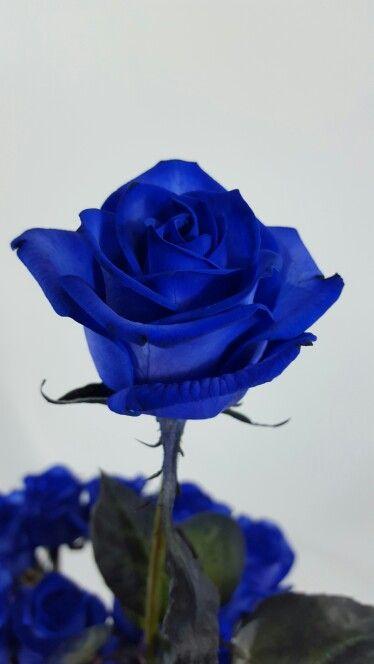 Modrá růže Vendela