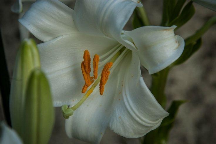 Bálint György kertről, növényekről | Miért most ültesse el a madonna-liliom hagymáit?