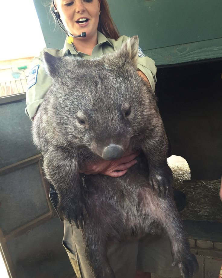 This is Patrick again the world's largest wombat http://ift.tt/2fbofKi