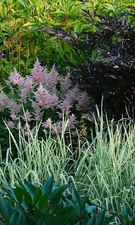 Astilbe 'Peach Blossom'  dark-leaved Cimicifuga with Helictotricon sempervirons in the foreground
