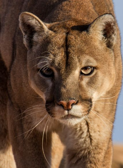 The Beauty of Wildlife.  By Walter Nussbaumer Mountain Lion