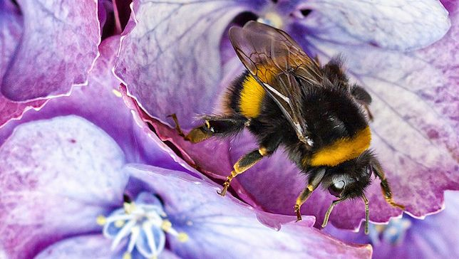 Creating a bumblebee-friendly garden will help the struggling pollinators and be a boon for your blooms as well.