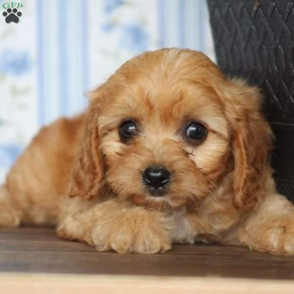 Tessa Cavapoo Puppy For Sale In Virginia Cavapoo Puppies For Sale Cavapoo Puppies Cavapoo