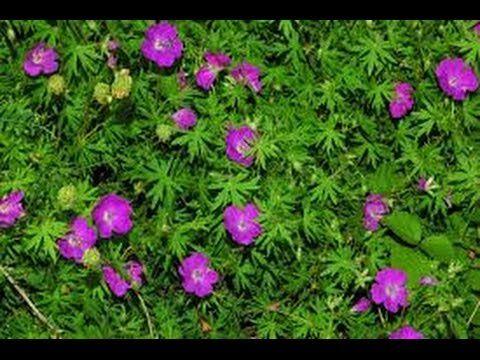 Como cultivar Geranios - La Flor Novio - Plantas - TvAgro por Juan Gonza...