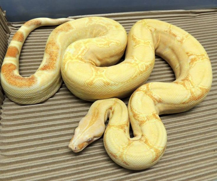 SHARP ALBINO SQUARETAIL