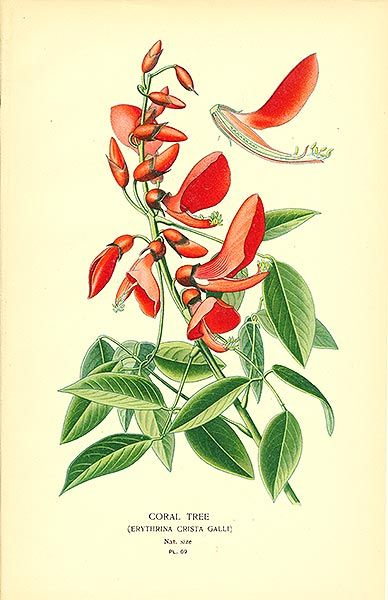 Antique print: picture of Coral Tree (Erythrina crista-galli) -