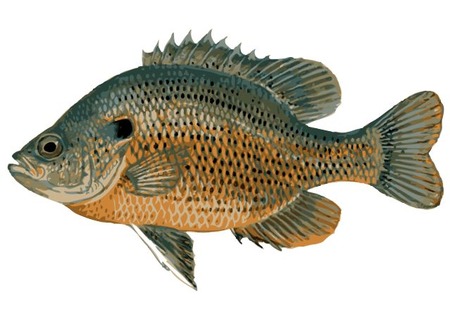 Great Clip Art of Freshwater Fish | Of, Clip art and Art