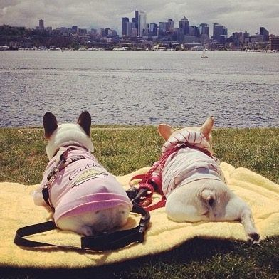 'Gettin' a Tan', 2 French Bulldogs on the last days of Summer ❤️