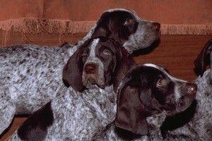 Dog-de-jacht-retriever-de-burgos-cub