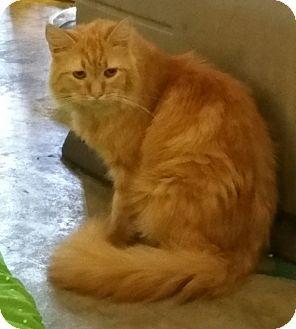 Domestic Longhair Cat for adoption in Los Angeles, California - Hercules