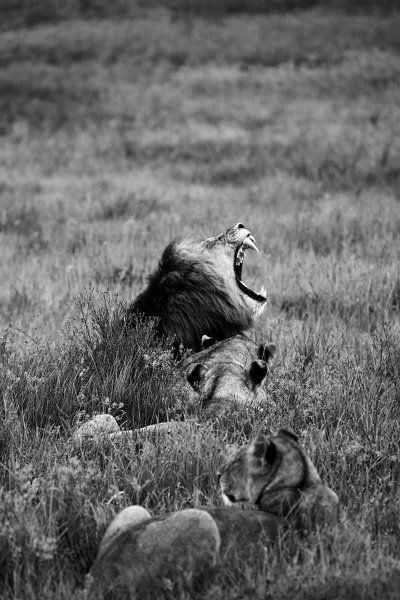 Gut gebrüllt, Löwe: Im südafrikanischen Nambiti Game Reserve lichtete Miguel de...
