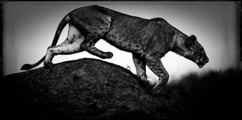 Animal Photography by Laurent Baheux