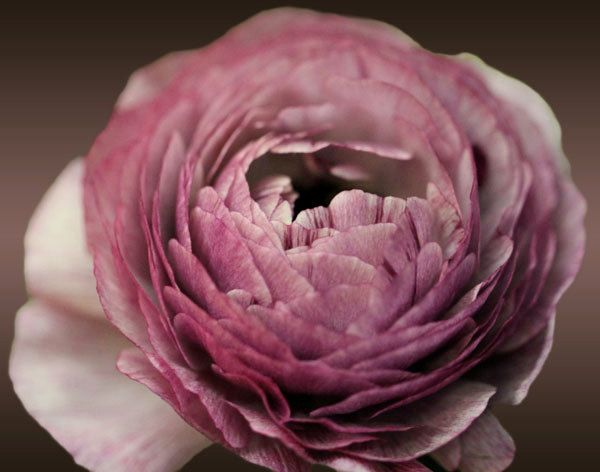 Ranunculus - my favorite