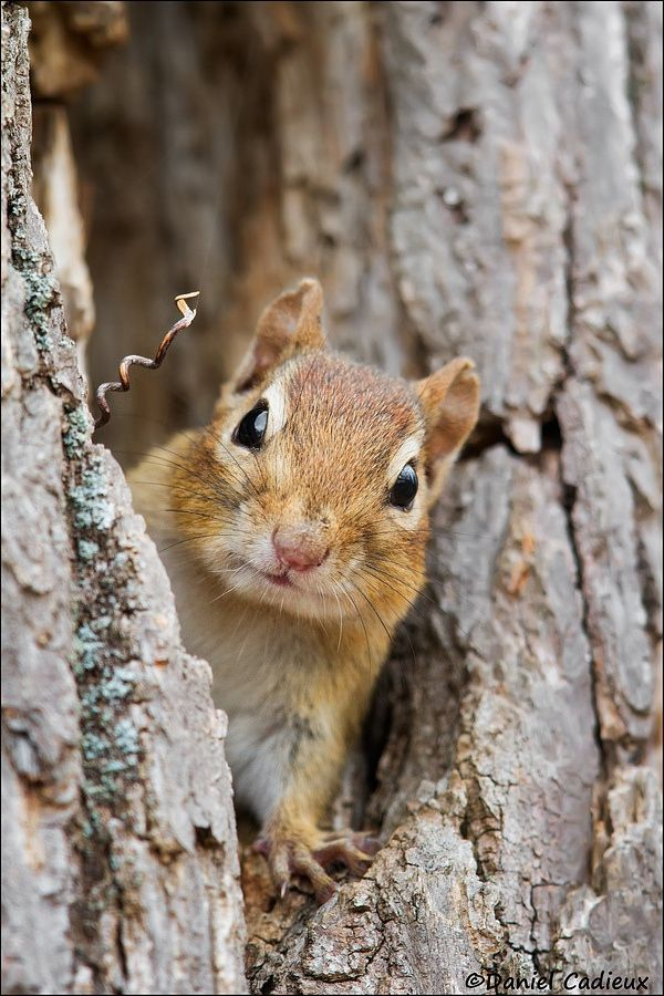 Photograph Curious Eastern Chipmunk by Daniel Cadieux on 500px
