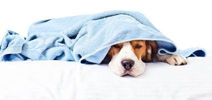 แอสไพรินและไอบูโปรเฟ: เป็นมนุษย์ปวดยาที่ปลอดภัยสำหรับสุนัข?