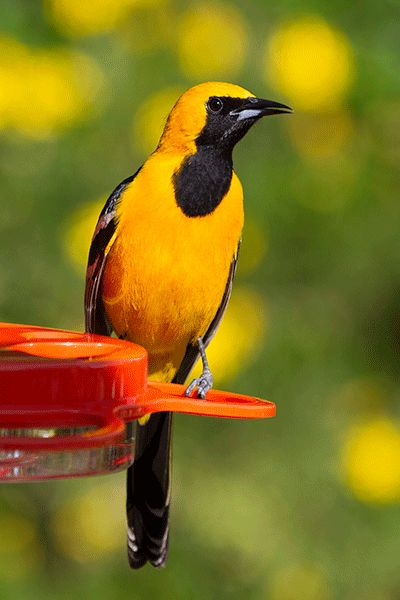 Hooded Oriole with feeder in the shadow