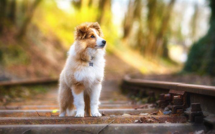 Lataa kuva 4k, Shetlannin Lammaskoira, syksy, rautatie, koirat