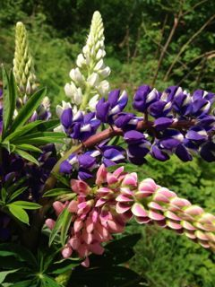 I allready miss summer and specially peppery, spicy and oriental scent of lupines.