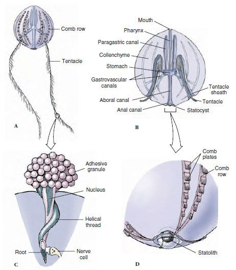1000 Images About Phylum Ctenophora On Pinterest