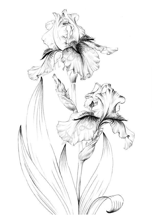 Iris Flower Sketch Large Print Line Drawing Botanical Prints A1 Floral Poster Printable Ar In 2020 Pencil Drawings Of Flowers Flower Sketches Flower Line Drawings