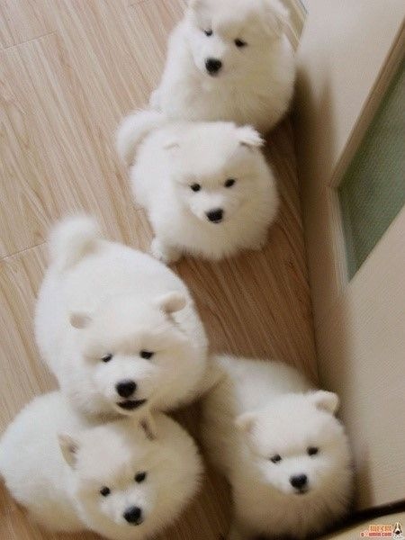 Samoyed puppies!  The best dogs in the whole world.  OMG! I want to Love the FLUFF out of them!!