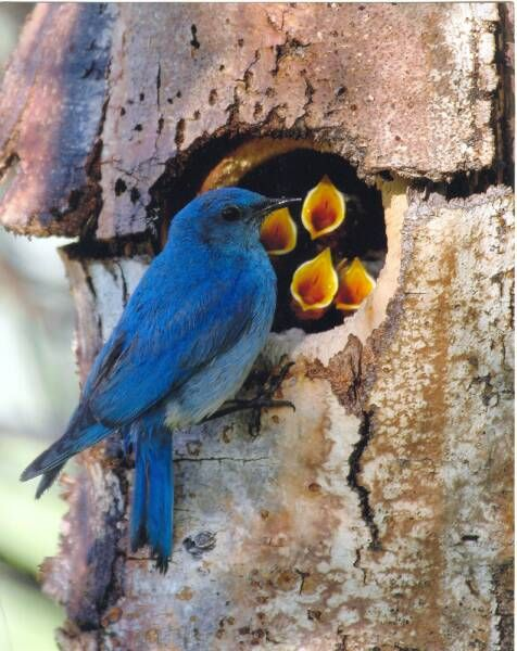 "A mountain blue bird feeds his young nesting in an aspen tree cavity."" Photo by Cassie Hartman via Wildlife Along the Rockies."