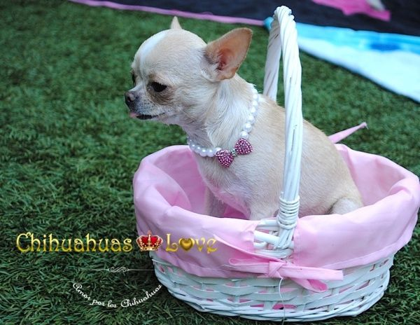 Chihuahuas Love - Chihuahuas Toy. Chihuahuas de Bolsillo. Chihuahuas Enanos.