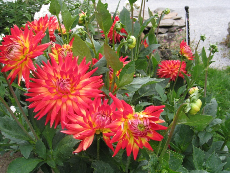 Dahlia--what a punch of color!Terrye Boards, Highfield Gardens, Favorite Annual, Beautiful Dahlias, Dahlias What, Flower Outside