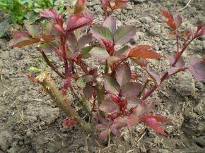 Можно ли выращивать розы из черенков осенью? На этот счет мнения цветоводов расходятся, однако осеннее размножение часто является более предпочтительным и приводит к лучшим результатам, чем весеннее.Р...