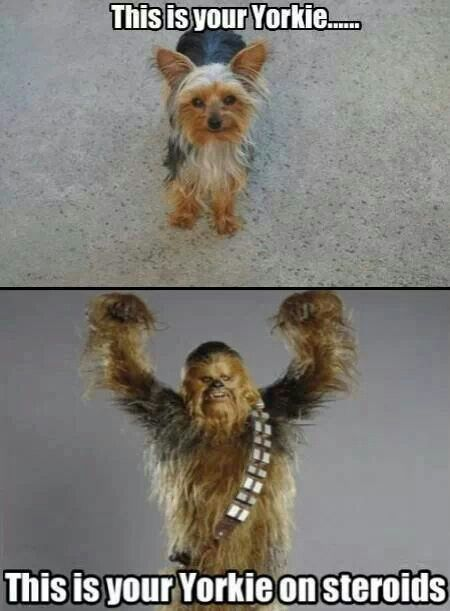 """More like: """"This is your yorkie when she/he sees another dog, or when someone comes into the house"""""""