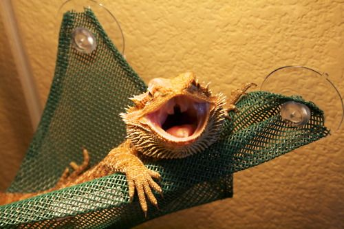 1000 ideas about pictures of bearded dragons on pinterest - Bearded dragon yawn ...