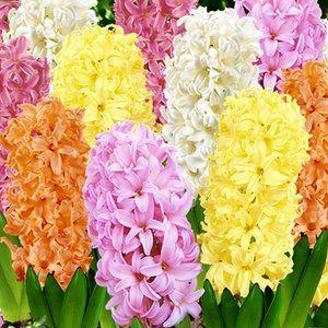Гиацинт после цветения. Как сохранить луковицы гиацинтов - Садовые цветы и растения. Florets.ru