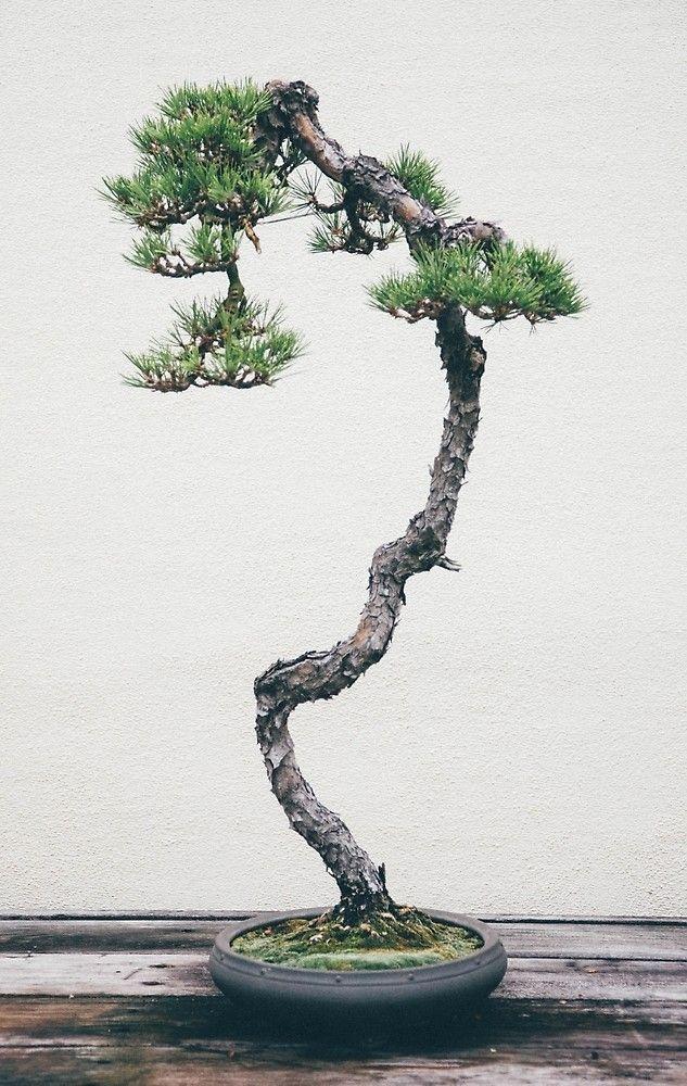 Literati Pine Bonsai by corydean