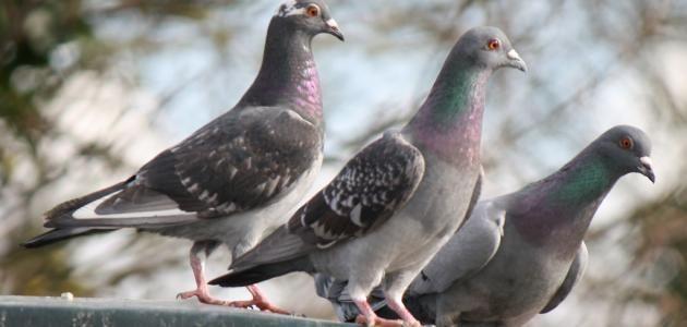 تفسير رؤية الحمام الميت في المنام لابن شاهين موسوعة طيوف Bird Control Buy Birds Get Rid Of Pigeons