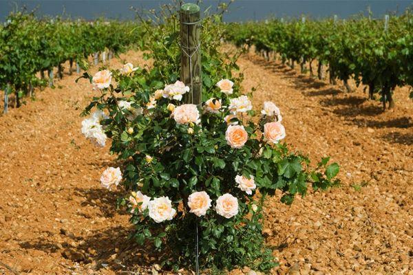 Белые вина Руэды
