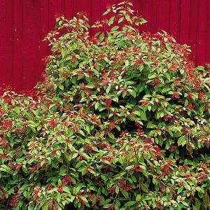 Hummingbirds Love Firebush - If you want to attract hummers by the droves, this easy-growing plant will do the trick.