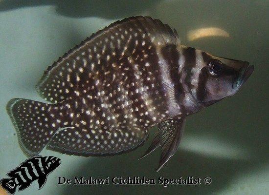 Calvus black  shell dwelling cichlid