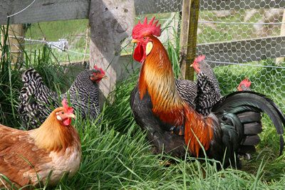 Raising Chickens : Keeping Chickens in your Backyard: Raising Chickens - First Steps