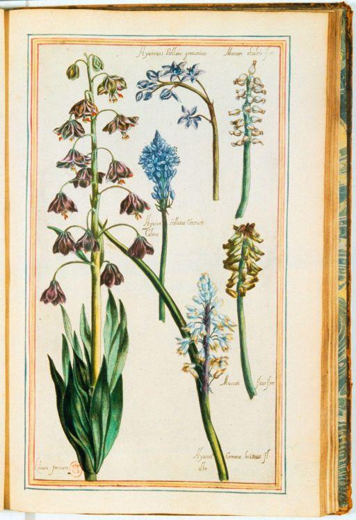 plantas img / jardín Henry IV / lirio y jacinto muscari-Lilium persicum.  germanicus.jpg Hyacintus Stellaris